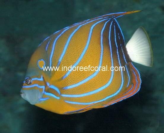 Marine Fish-11