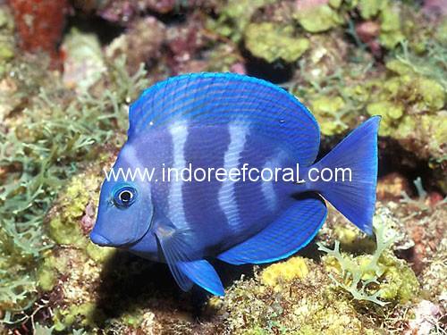 Marine Fish-12