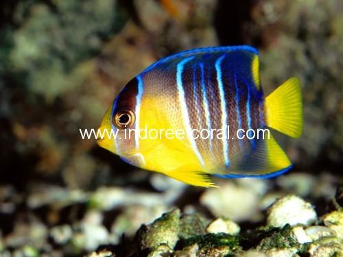 Marine Fish-6