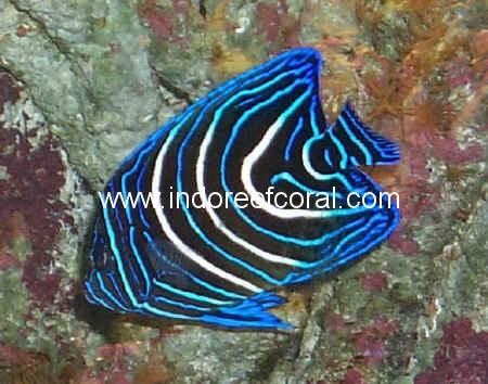 Marine Fish-7