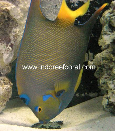 Marine Fish-8