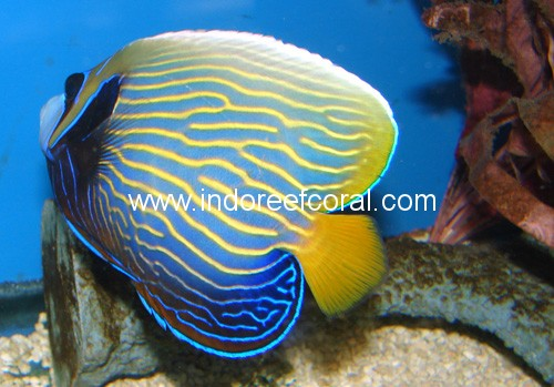 Marine fish indo reef coral big marine special for Easy to take care of fish